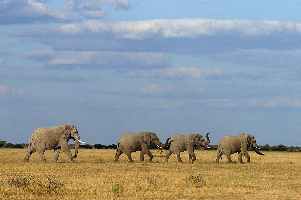 African elephants. Loxodonta africana. Nxai pan, botswana
