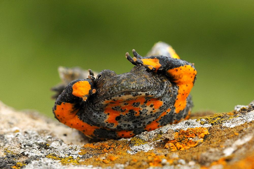 Yellow-bellied Toad ( Bombina variegata) showing defensive posture, Bulgaria