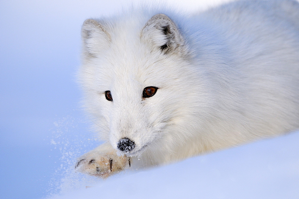 Arctic fox (alopex lagopus) close-up, on snow, norway captive