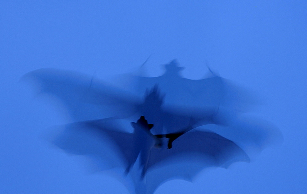 Straw-coloured fruit bat (eidolon helvum) kasanka  park, zambia, in flight, abstract image.