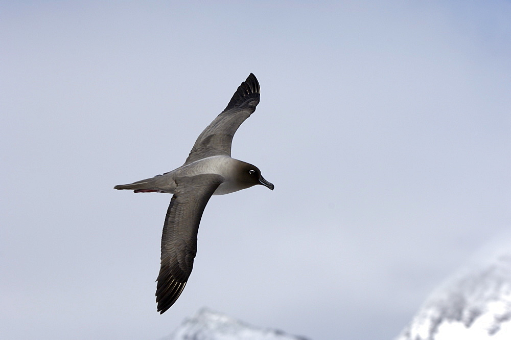 Light-manted sooty albatross (diomedea palpebrata) gold harbour, south georgia, in flight.