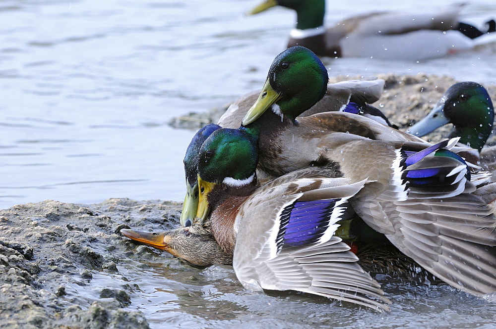 Mallard (anas platyrhynchos) several males trying to mate with one female, slimbridge, uk