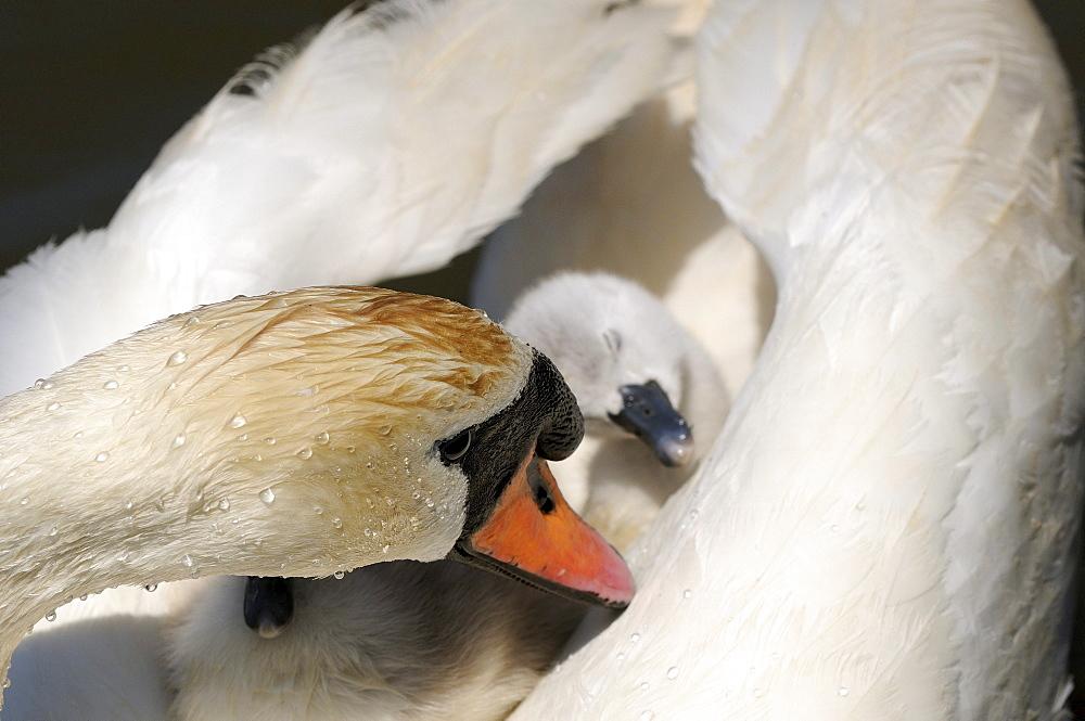 Mute swan (cygnus olor) cygnet asleep on mothers back, abbotsbury, uk