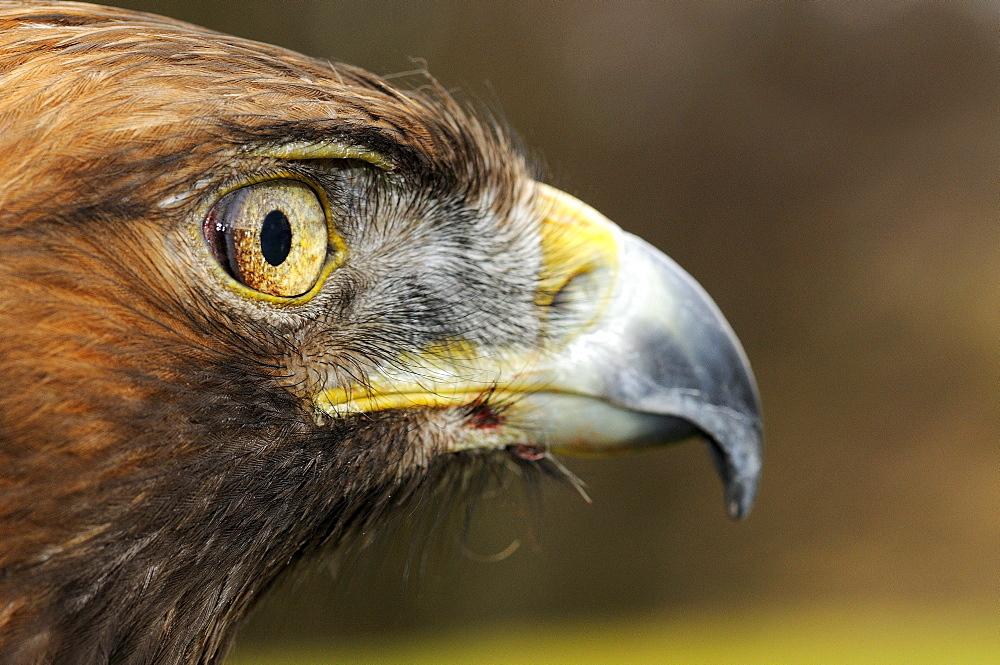 Golden eagle (aquila chrysaetos) portrait, scotland, captive