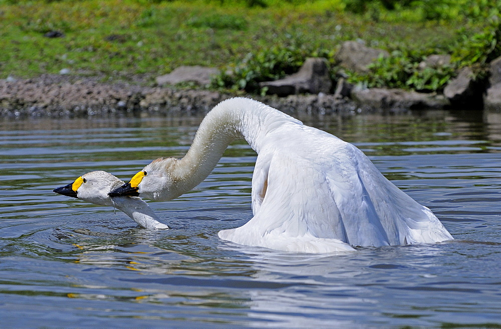 Bewicks swan (cygnus columbianus) pair mating on water, slimbridge, uk