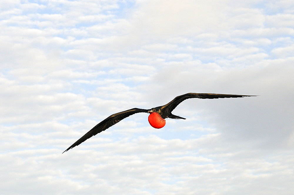 Magnificent frigatebird (fregata magnificens) in flight with inflated gular pouch, galapagos islands, ecuador