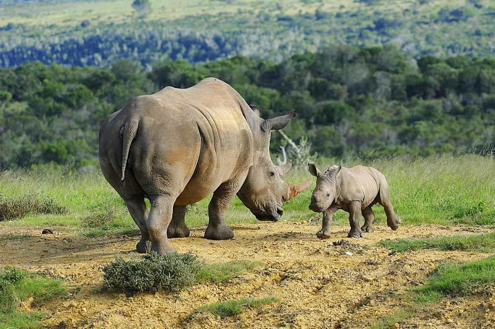 White rhinoceros (ceratotherium simum) mother and calf, eastern cape, south africa