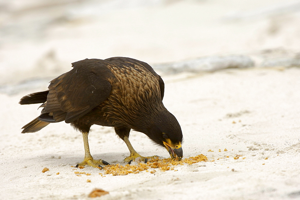 Striated caracara (phalcoboenus australis) new island, falkland islands, eating fur seal faeces on the beach.