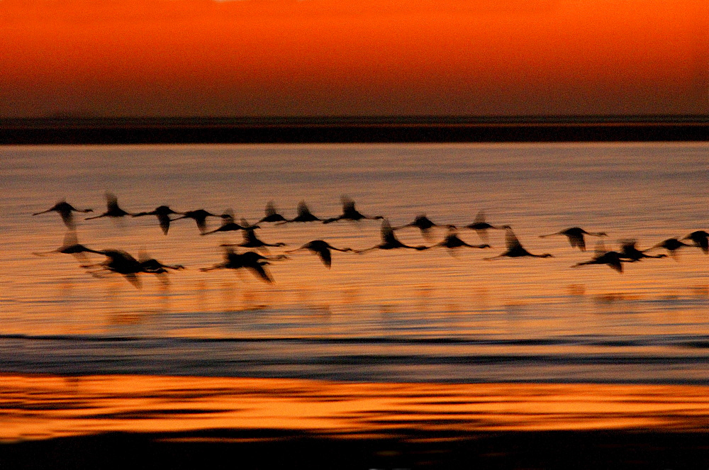 Greater flamingoes, phoenicopterus ruber. In flight at sunset. Walvis bay, namibia