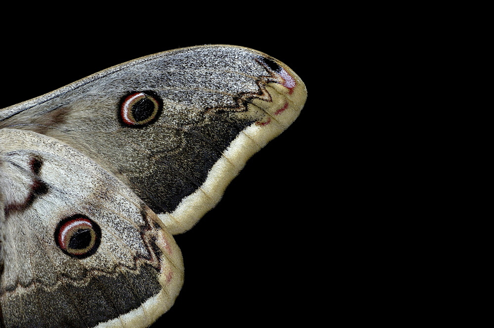 Giant emperor moth (saturnia pyri), close, up of wings, europe.