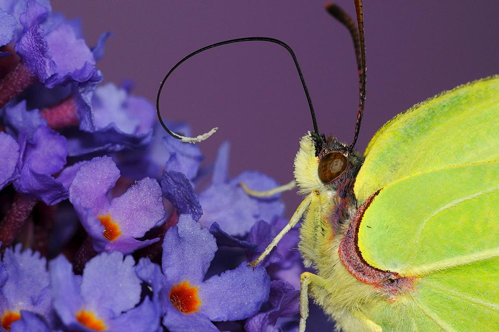 Brimstone butterfly (gonepteryx rhamni) close,up, feeding on buddleia flowers, tongue extended, oxfordshire, uk