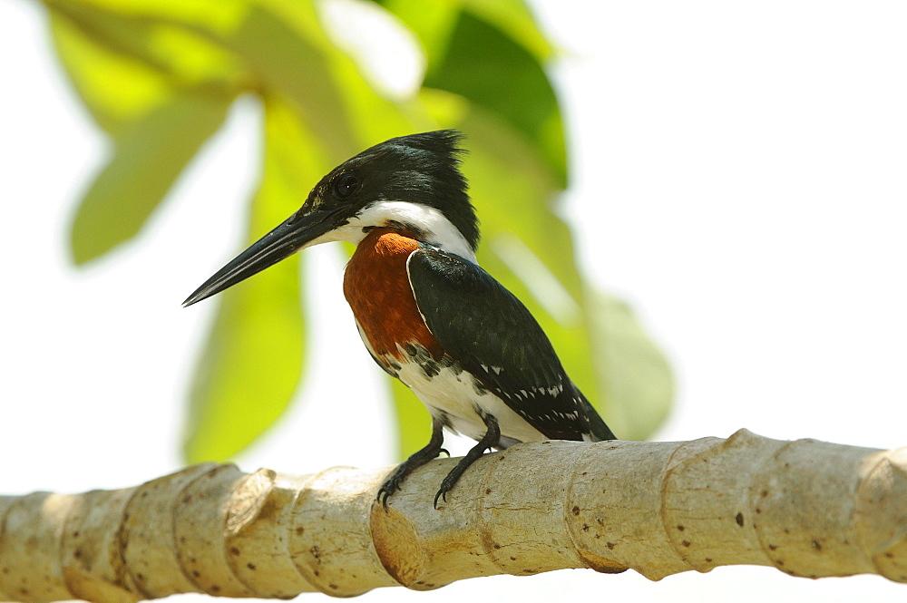 Green kingfisher (chloroceryle americana) perched on branch, pantanal, brazil.