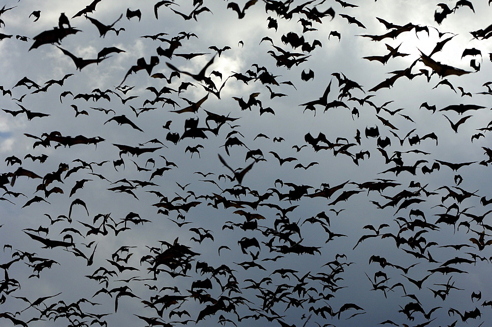 Straw-coloured fruit bat (eidolon helvum) kasanka  park, zambia, flock in flight.