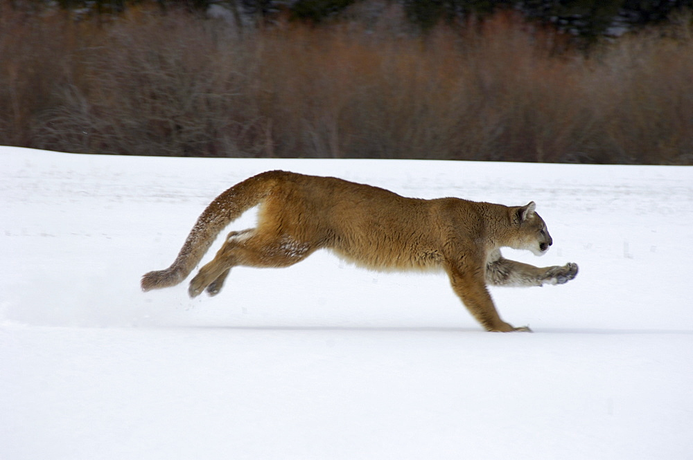 Puma or mountain lion (felis concolor) running on snow, captive.