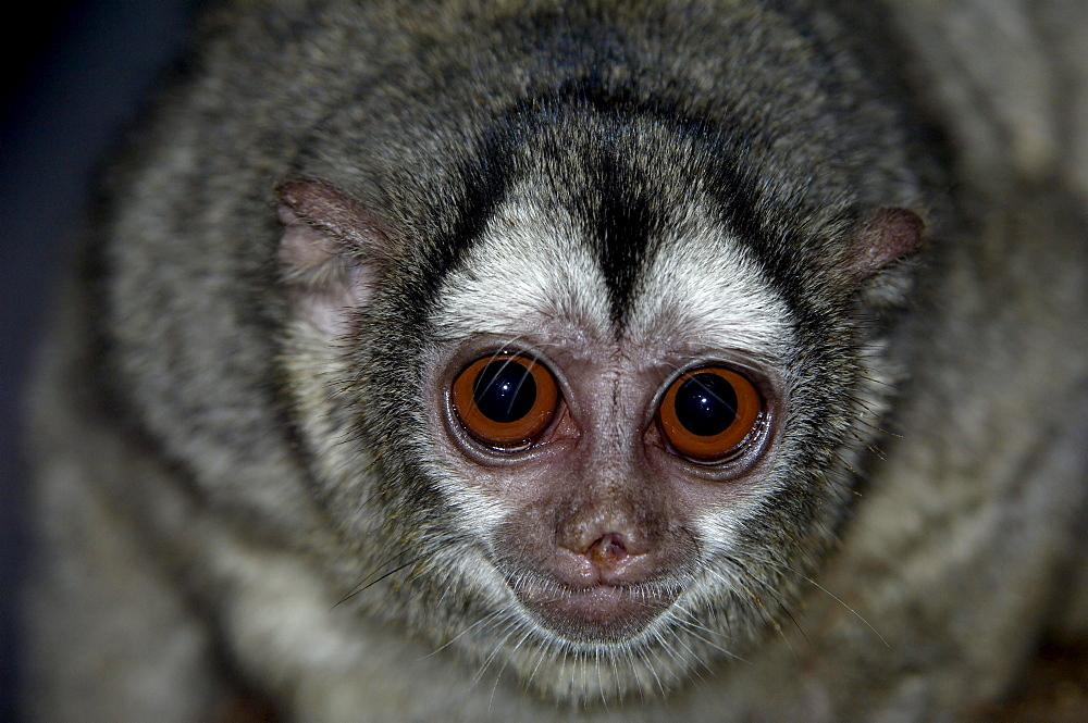 Owl monkey (aotus trivirgatus boliviensis) native of bolivia, south america (captive bristol zoo)