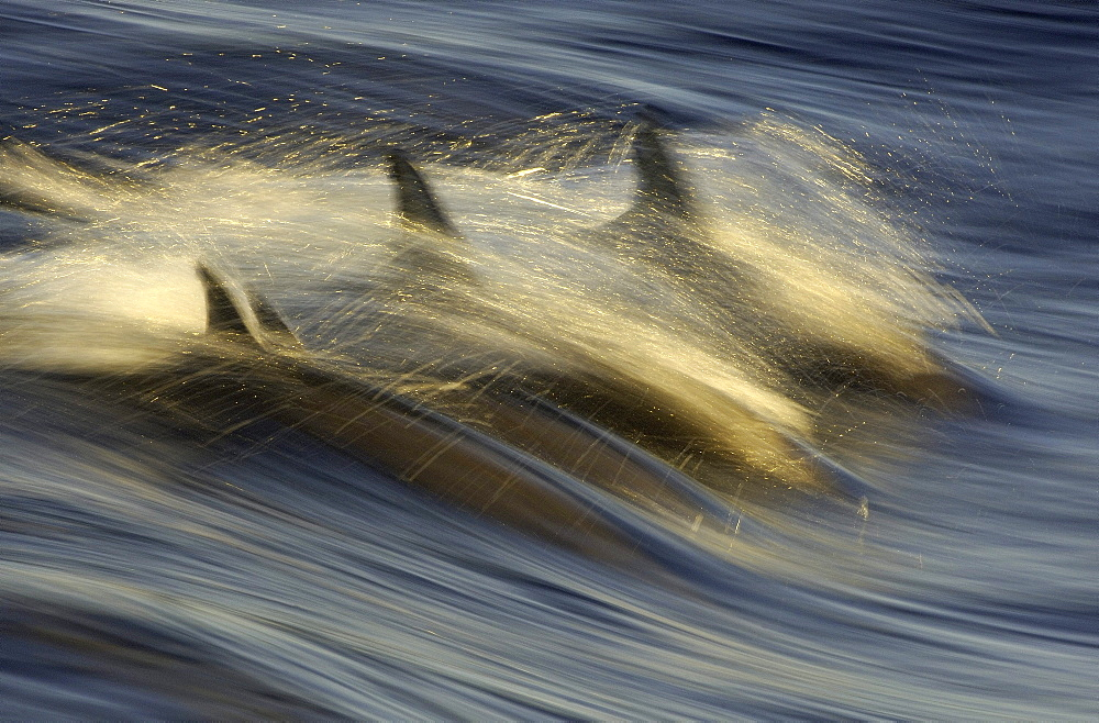 Long beaked common dolphin (delphinus capensis) sea of cortez, mexico, abstract image
