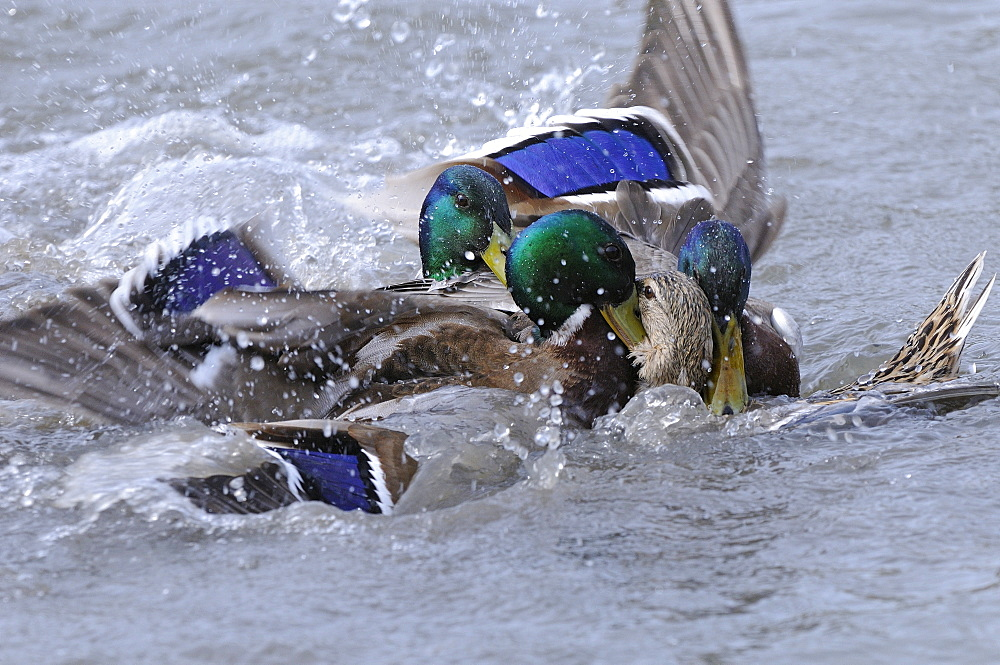 Mallard (anas platyrhynchos) several malse trying to mate with one female, slimbridge, uk