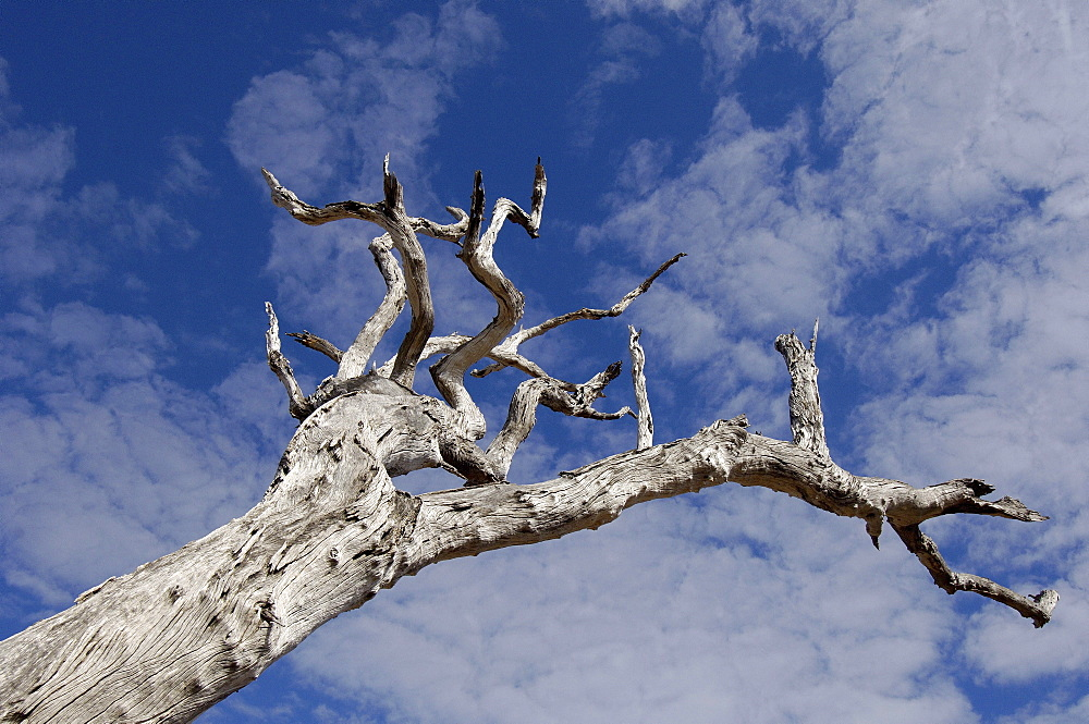 Dead  tree, south luangwa  park, zambia, abstract, looking up against blue sky
