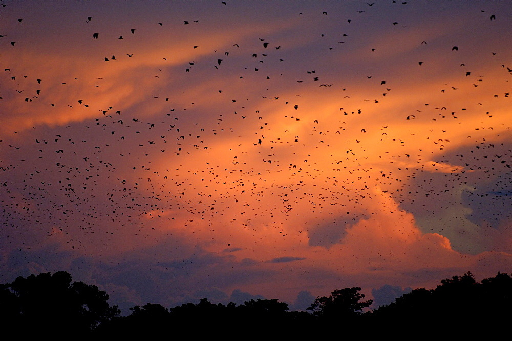 Straw-coloured fruit bat (eidolon helvum) kasanka  park, zambia, flock in flight at sunset.