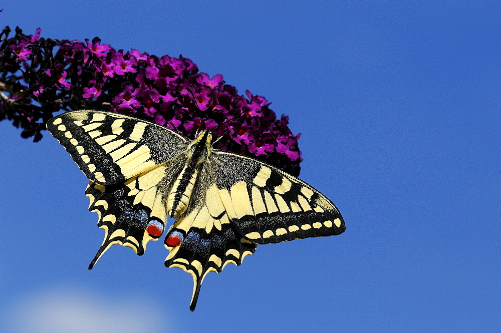 European Swallowtail Butterfly (Papilio machaon) resting on Buddleia flower, captive