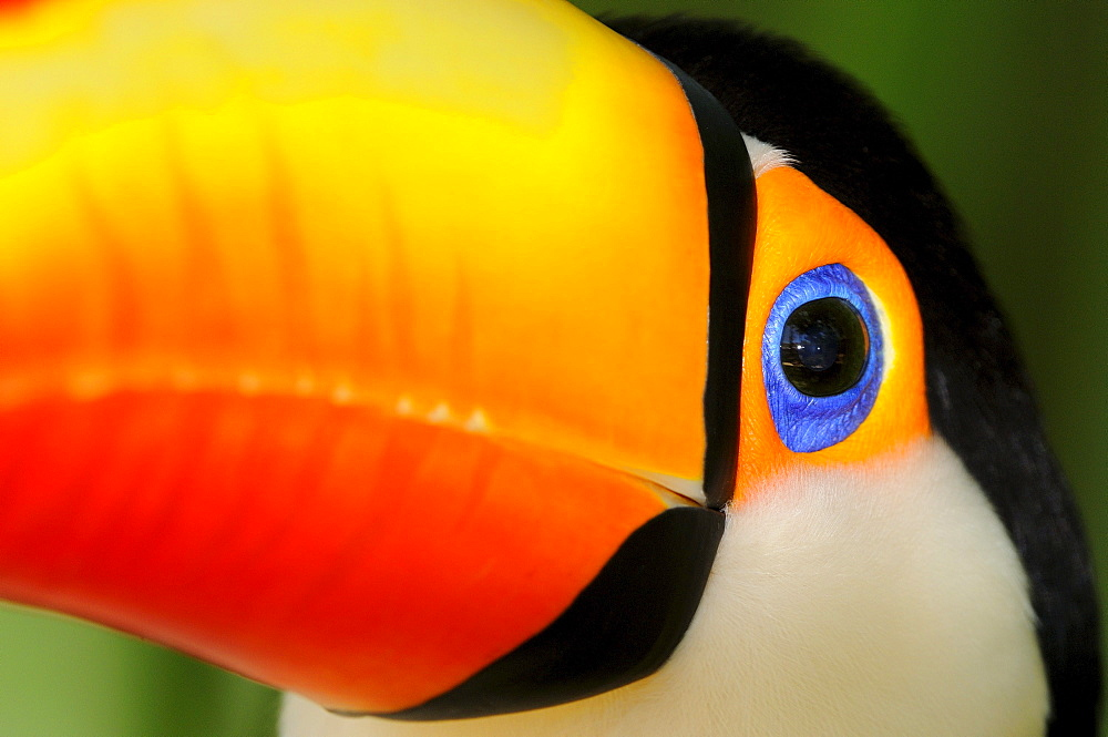 Toco toucan (ramphastos toco) close,up of head and beak, captive, brazil