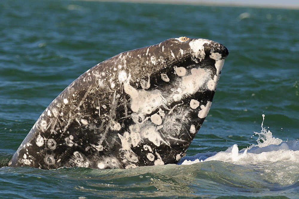 Grey whale (eschrishtius robustus) showing flipper above water, heavy scarring, san ignacio, mexico