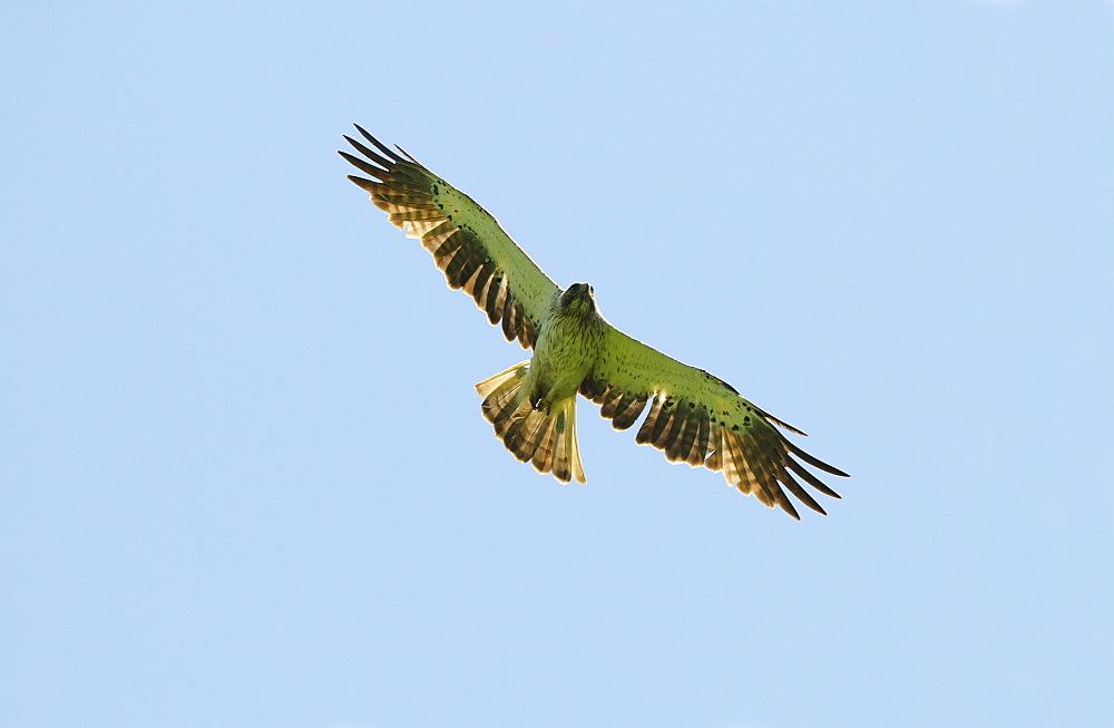 Booted Eagle ( Hieraaetus pennatus) in flight, Bulgaria