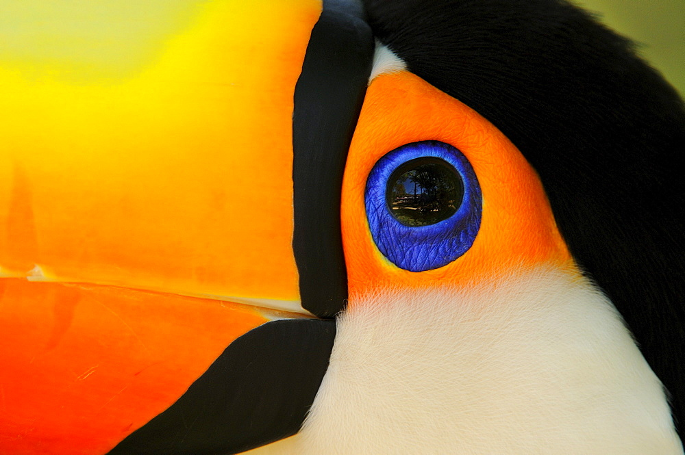 Toco toucan (ramphastos toco) close,up of head showing colours and blue eyering, captive, brazil.