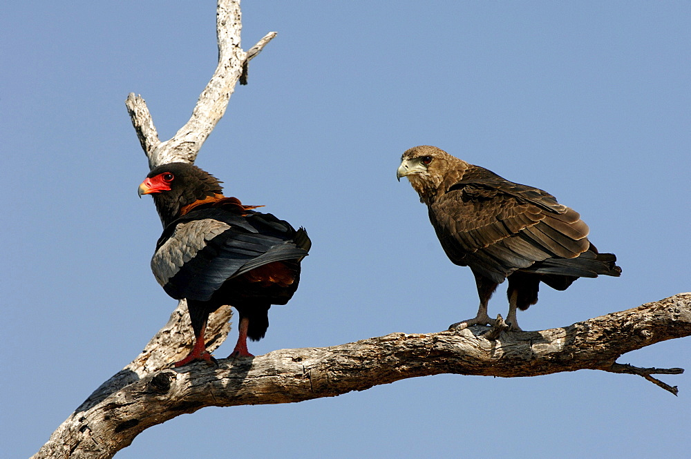 Bateleur eagles. Terathopius ecaudatus. Adult and juvenile perched on branch, botswana