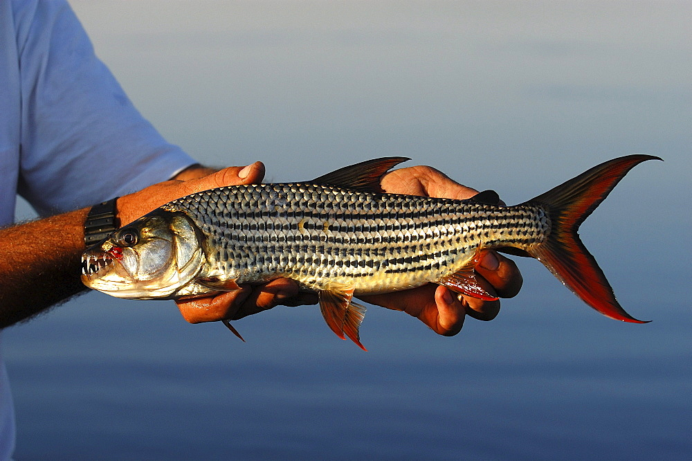 High quality stock photos of tiger fish for Tiger striped fish