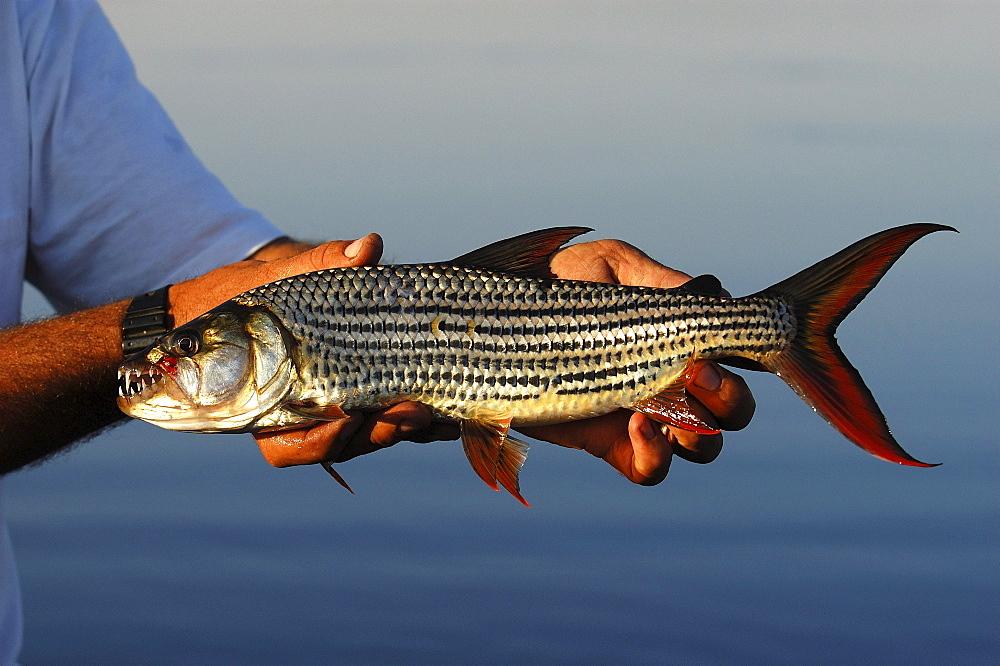 Nile tiger fish. Hydrocynus forskalii. Okavango river, botswana