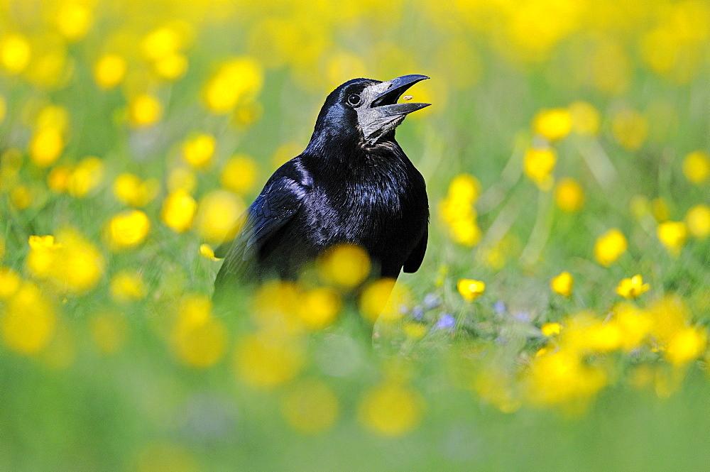 Rook (corvus frugilegus) eating seed, in field of buttercups, oxfordshire, uk