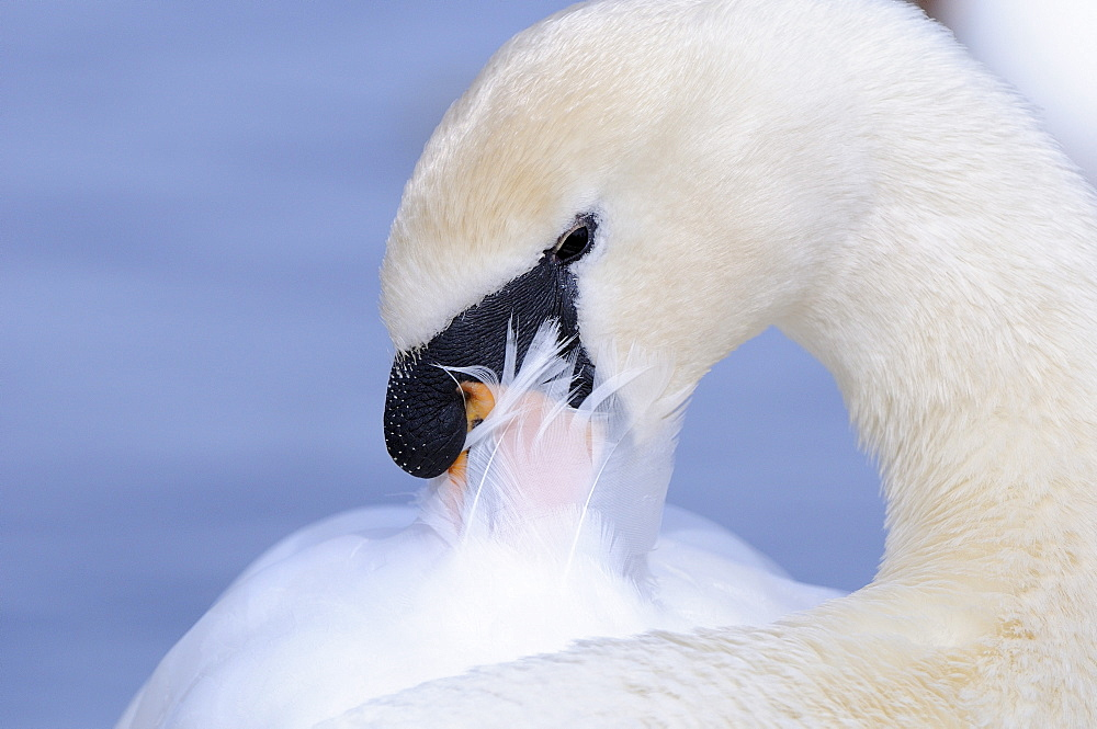 Mute swan (cygnus olor) close-up, preening, oxfordshire, uk