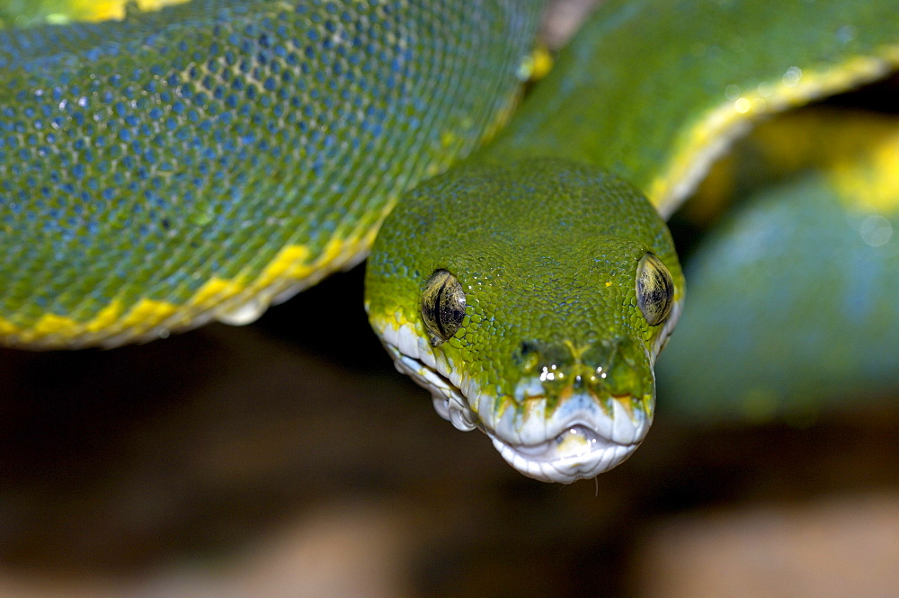 Green tree python (morelia viridis) native of papua new guinea, australia and indonesia (captive bristol zoo).