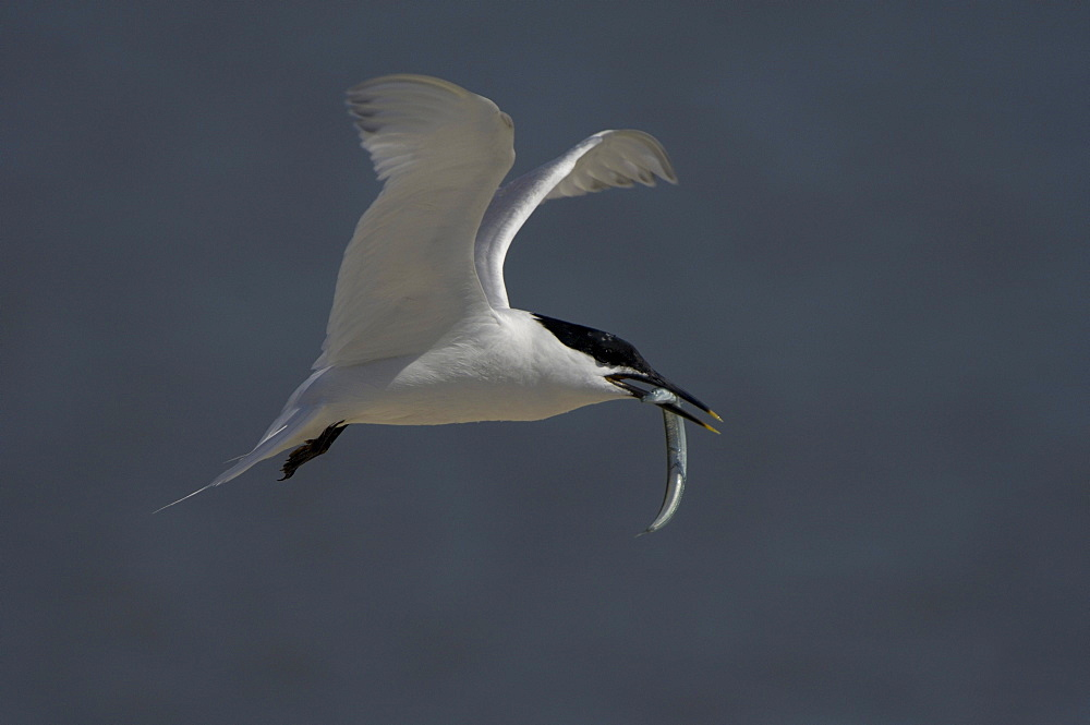 Sandwich tern (sterna sandvicensis), brownsea island, uk, in flight with fish in beak.