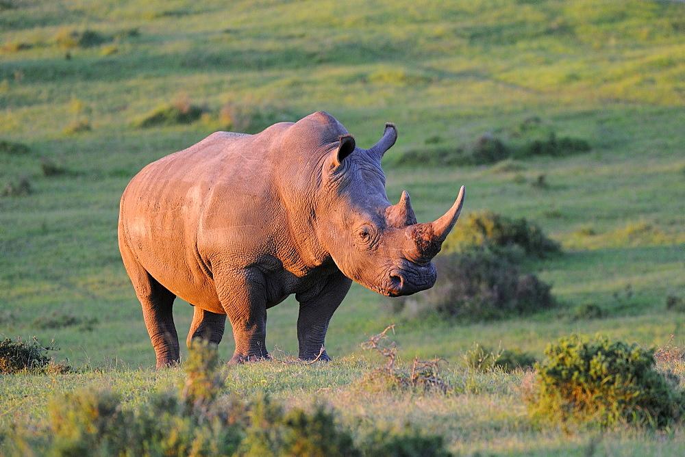 White rhinoceros (ceratotherium simum) adult in evening light, eastern cape, south africa