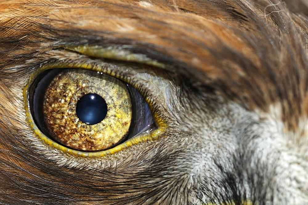 Golden eagle (aquila chrysaetos) close-up of eye, scotland, captive