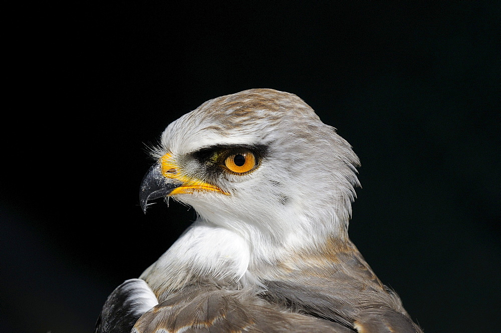 Black-shouldered kite (elanus caeruleus) juvenile showing yellow eye, portrait, captive, south africa