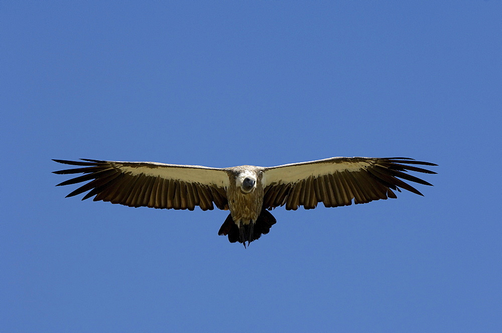 White-backed vulture (gyps africanus) masai mara, kenya, in flight, gliding, soaring.