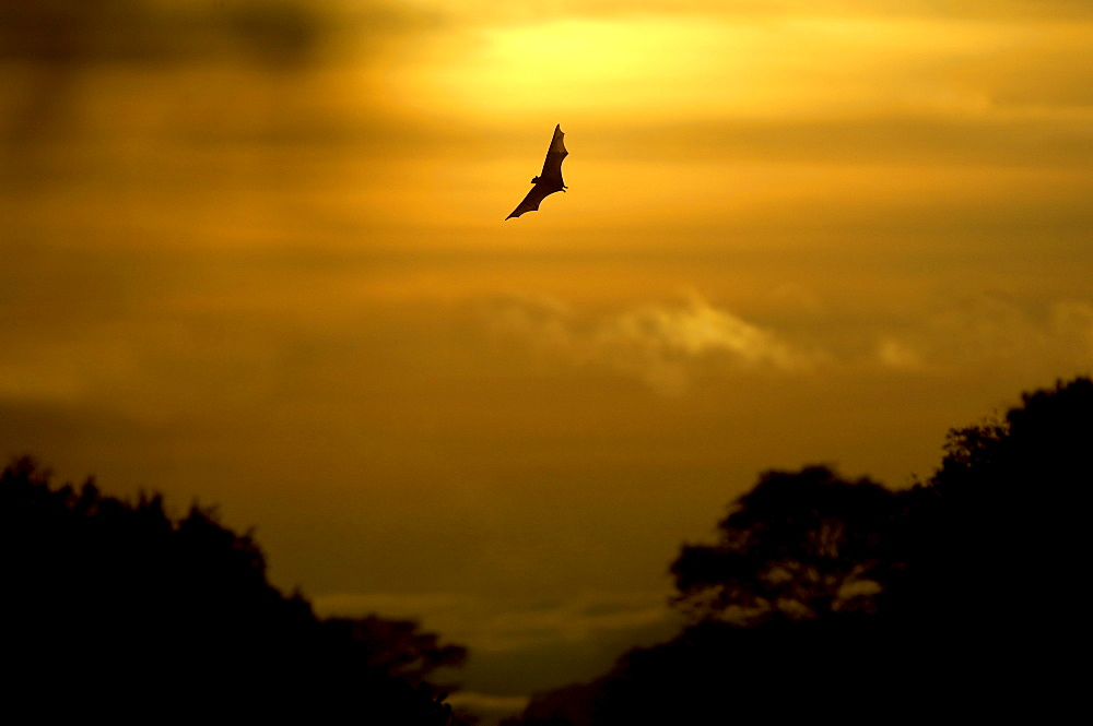 Straw-coloured fruit bat (eidolon helvum) kasanka  park, zambia, in flight at sunrise.