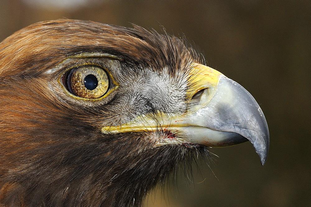 Golden eagle (aquila chrysaetos) close-up of face, scotland, captive