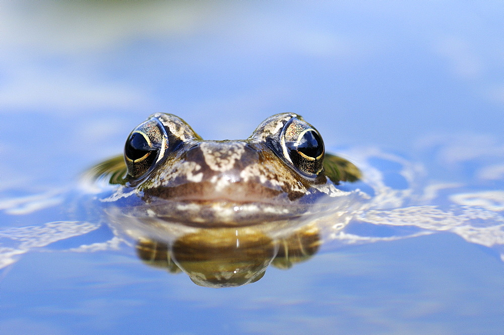 Common Frog (Rana temporaria) resting at water surface, view of eyes and mouth, Oxfordshire, UK