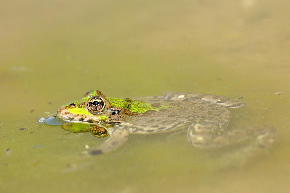 Marsh Frog (Rana ridibunda) floating motionless in water, Bulgaria