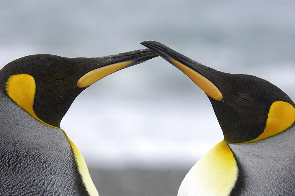 King penguins (aptenodytes patagonicus) st andrews bay, south georgia, two birds beak to beak