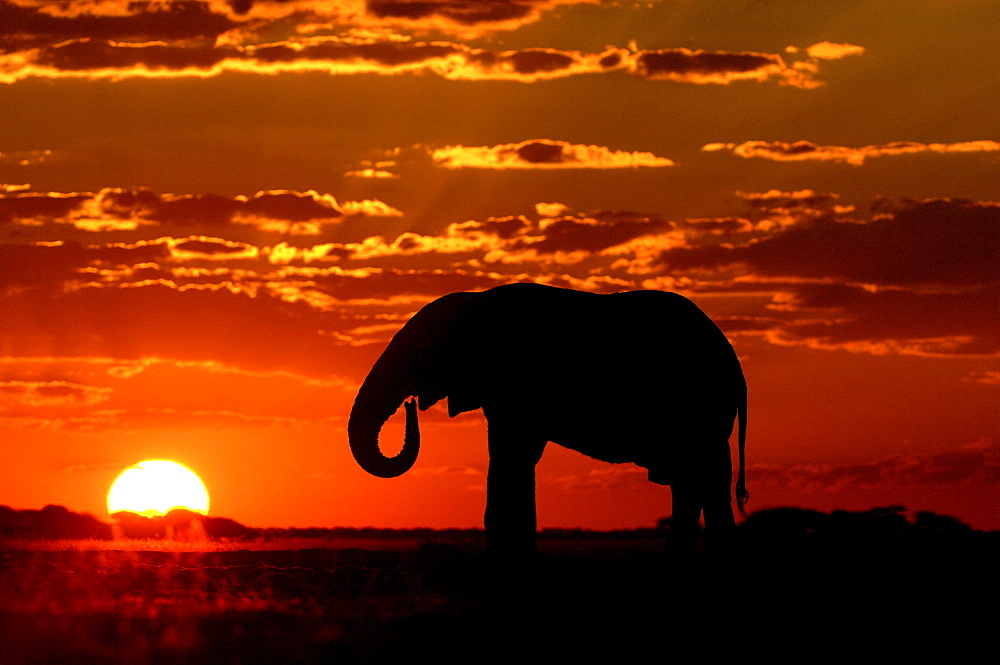 African elephants. Loxodonta africana. Drinking at sunset. Nxai pan, botswana