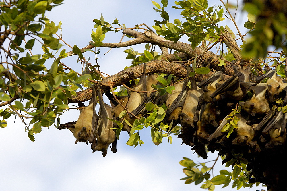 Straw-coloured fruit bat (eidolon helvum) kasanka  park, zambia, group roosting in swamp forest.