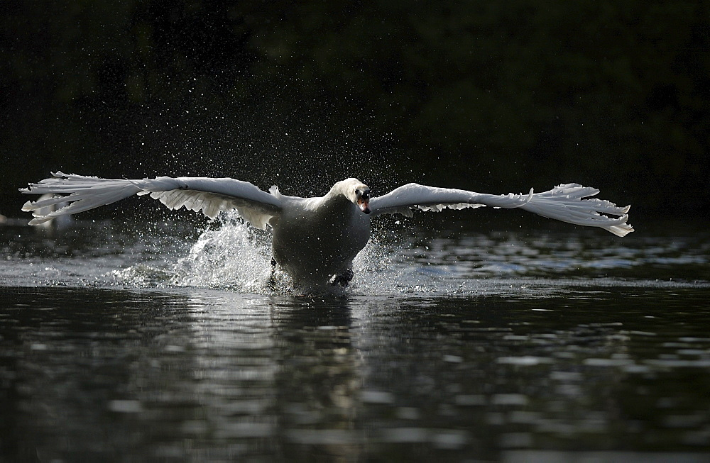 Mute swan (cygnus olor) charging across water, oxfordshire, uk
