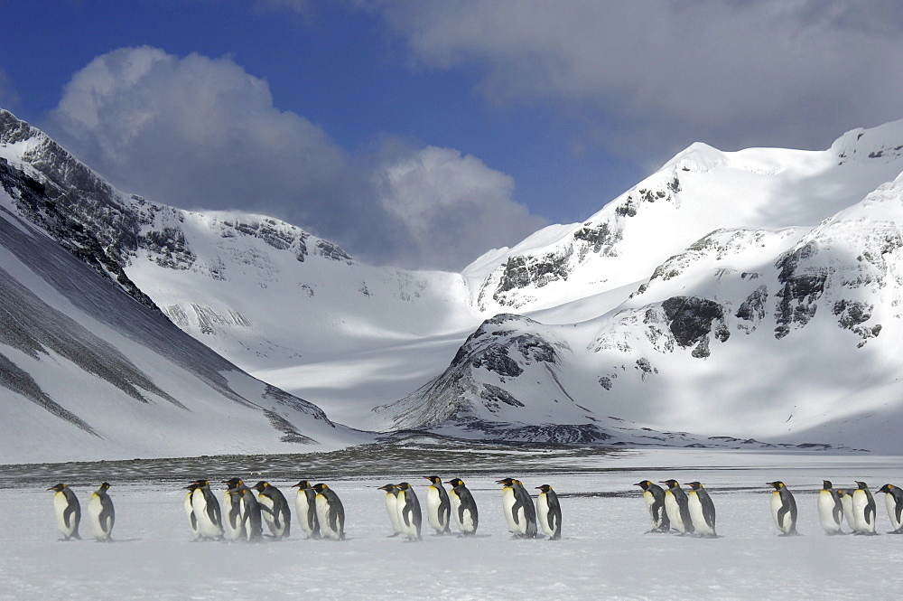 King penguins (aptenodytes patagonicus) right whale bay, south georgia, in snowy landscape