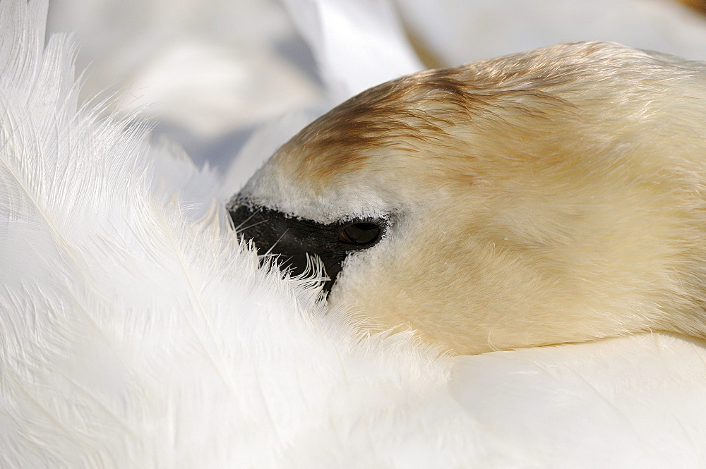 Mute swan (cygnus olor) resting head on its back, close-up view, abbotsbury, uk