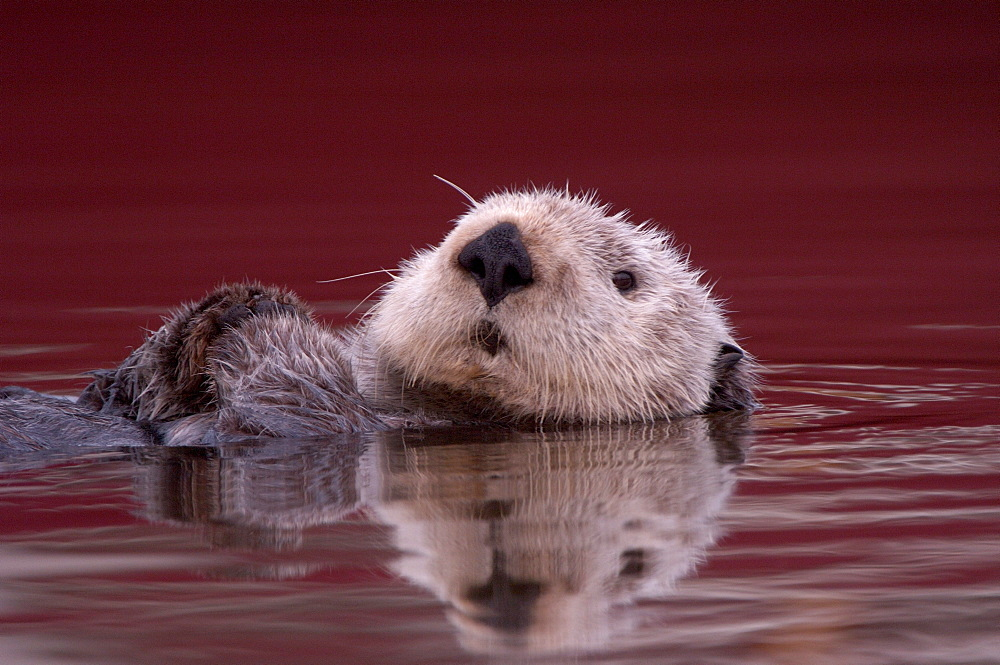 Sea otter (enhydra lutris), monterey, usa, resting on back in water, close, up